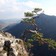 Famous relict pine on Sokolica peak- symbol of Pieniny Mountains — Stock Photo