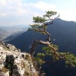 Famous relict pine on Sokolica peak- symbol of Pieniny Mountains — Stock Photo #33379719