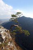 Relict pine on Sokolica peak- symbol of Pieniny Mountains — Stock Photo