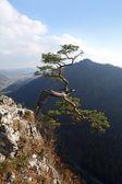 Relict pine on Sokolica peak- symbol of Pieniny Mountains — Stock Photo