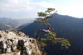 Famous relict pine on Sokolica peak- symbol of Pieniny Mountains — Stock Photo