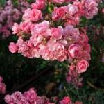Beautiful pink roses in garden — Stock Photo #34073831