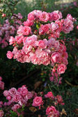Beautiful pink roses in garden — Stock Photo