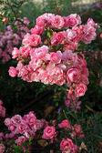 Beautiful pink roses in garden — Stock Photo