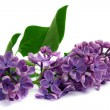 Twig of lilac on white background — Stock Photo