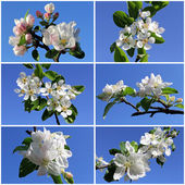 Collection of apple and pear spring flowers — Stock Photo