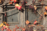 Vintage window covered by red ivy — Stock Photo