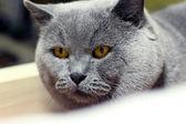 Closeup de gato shorthair britânico — Foto Stock