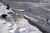 Seagulls and pigeons on the bank of a frozen river — Stock Photo