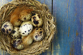 Quail's eggs in a nest — Stock Photo
