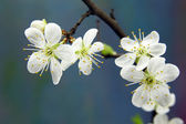 Branch of cherry with white flowers — Stock Photo