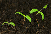 Step of growing green plant — Foto de Stock