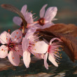 Pink flowers of plump tree — Stock Photo #44399995