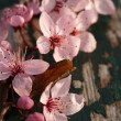 Spring pink flowers on old wood — Stock Photo #44400029