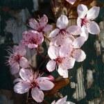 Pink flowers on peeling wood — Stock Photo #44678467