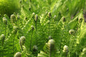 Young green fern background — Stock Photo