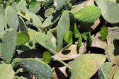 Prickly pear cactus background — Stock Photo