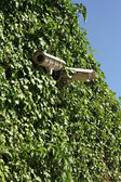 Security cameras on ivy covered wall — ストック写真