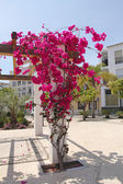 Pergola with beuatiful pink flowers (bougainvillea) — Stock Photo