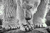 Monotone polar — Foto Stock