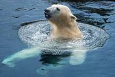 Polar swim — Stock Photo