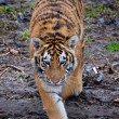 Stalking Amur tiger — Stockfoto #22608975