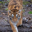 stalking amur tiger — Stock Photo