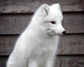 Arctic fox — Stock Photo