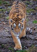 Stalking Amur tiger — Stock Photo