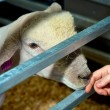 Sheep touch — Stockfoto