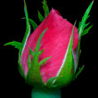 Foto Stock: Rose bloom ready