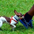 Tiny dog — Stockfoto
