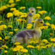 Cute Gosling Trio — Stockfoto #30799529