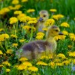 Stock Photo: Cute Gosling Trio