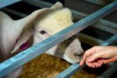 羊触摸 — 图库照片