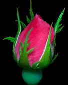 Růže kvetou připraven — Stock fotografie