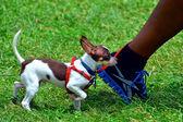 Cão pequeno — Foto Stock