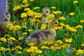 Cute Gosling Trio — Stock Photo