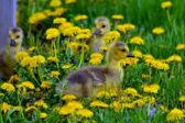 Trio carino gosling — Foto Stock