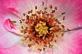 Rosa secreto — Foto de Stock