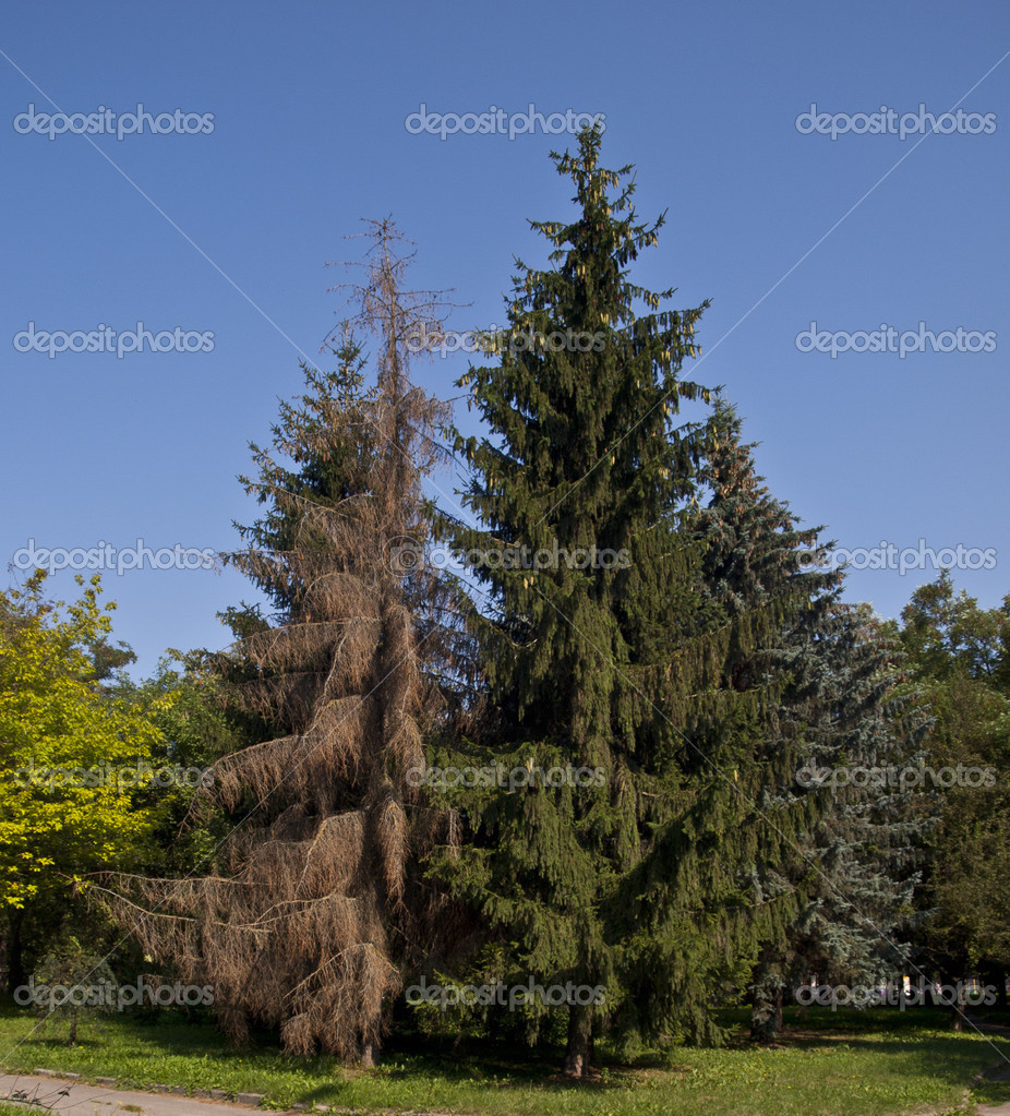 Old and young fur-trees standing together in the park — 图库照片 #12407449