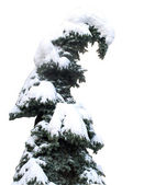 Fur-tree covered with snow — Stock Photo