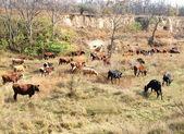 Vacas — Fotografia Stock