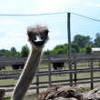Young curious ostrich — Stock Photo