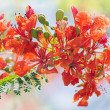 Flame tree flowers and blue sky — Stock Photo