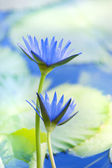 Beautiful lotus flower background — Stock Photo