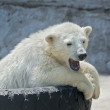 Yawning polar bear cub on tire bed — Stock fotografie