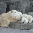 Sleeping family of polar bears - Stock Photo