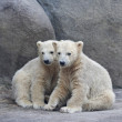 Brotherhood of polar bear cubs - Stock Photo