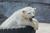 Yawning polar bear cub on tire bed — Stock Photo